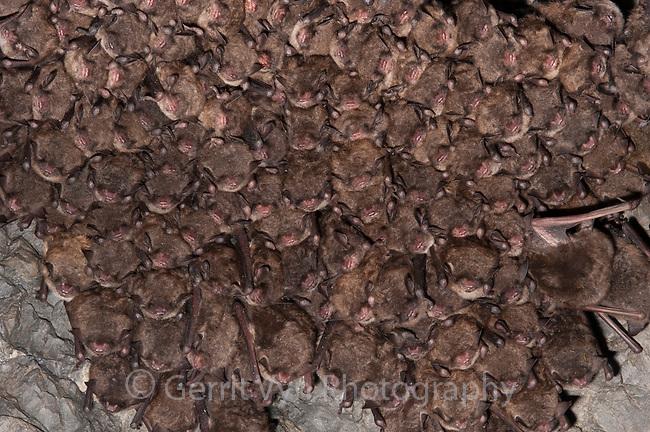 Endangered Indian Bats (Myotis sodalis) hibernating in a mine in eastern New York. Ulster County. January.