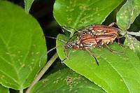 Variabler Stubbenbock, Paarung, Kopulation, Kopula, Variabler Stubben-Bock, Variabler Stubbenbockkäfer, Stenocorus meridianus, Variable longhorn, Variable Longhorn Beetle