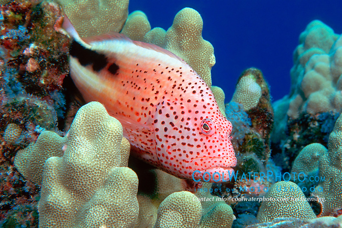 blackside hawkfish, Paracirrhites forsteri, Kona, Big Island, Hawaii, Pacific Ocean