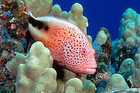 blackside hawkfish, Paracirrhites forsteri, Kona, Big Island, Hawaii, Pacific Ocean
