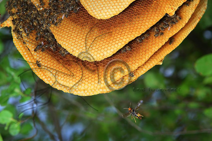 An Asian hornet attacks a colony of undomesticated bees settled in a tree. The wild swarms are particularly vulnerable to Asian hornets, which puts at risk our common bee as well as all pollinators in the wild. ///Un frelon asiatique attaque une colonie sauvage d'abeilles installée dans un arbre. Les essaims sauvages sont particulièrement vulnérables au frelons asiatiques ce qui met en danger la suivi de notre abeille commune ainsi que de tous les pollinisateurs  en milieu naturel.