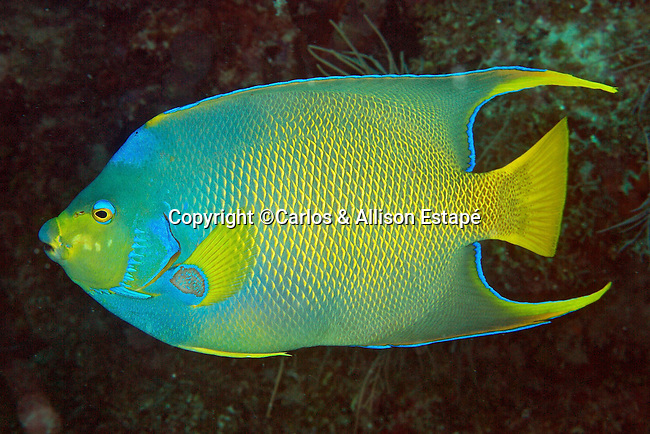 Holacanthus hybrid, Townsend angelfish, Florida Keys