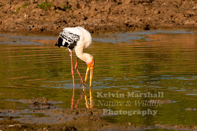 Painted stork (Mycteria leucocephala) is a large wading bird in the stork family. It is found in the wetlands of the plains of tropical Asia south of the Himalayas in the Indian Subcontinent and extending into Southeast Asia. Their distinctive pink tertial feathers give them their name. They forage in flocks in shallow waters along rivers or lakes. They immerse their half open beaks in water and sweep them from side to side and snap up their prey of small fish that are sensed by touch. As they wade along they also stir the water with their feet to flush hiding fish. They nest colonially in trees, often along with other waterbirds. The only sounds they produce are weak moans or bill clattering at the nest. They are not migratory and only make short distance movements in some parts of their range in response to changes in weather or food availability or for breeding. Like other storks, they are often seen soaring on thermals. Bundala National Park - (Sri Lanka)