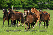 Bob, ANIMALS, REALISTISCHE TIERE, ANIMALES REALISTICOS, horses, photos+++++,GBLA4402,#a#, EVERYDAY