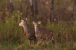 White-tailed doe and her fawn.