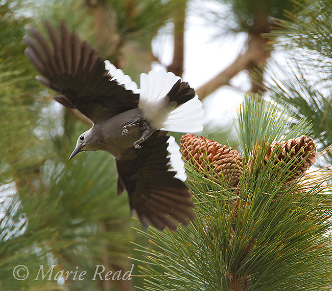 Clark's Nutcracker (Nucifraga columbiana), takes flight from cones of Jeffrey Pine showing its distinctive plumage pattern, autumn, Mono Lake Basin, California, USA