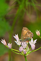 345260003v a wild juniper hairstreak butterfly callophrys gryneus feeds on wild onion allium canadense in southeast regional park in austin texas