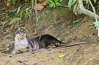 smooth-coated otter, Lutrogale perspicillata, Kinabatangan River, Sabah, Borneo, Malaysia