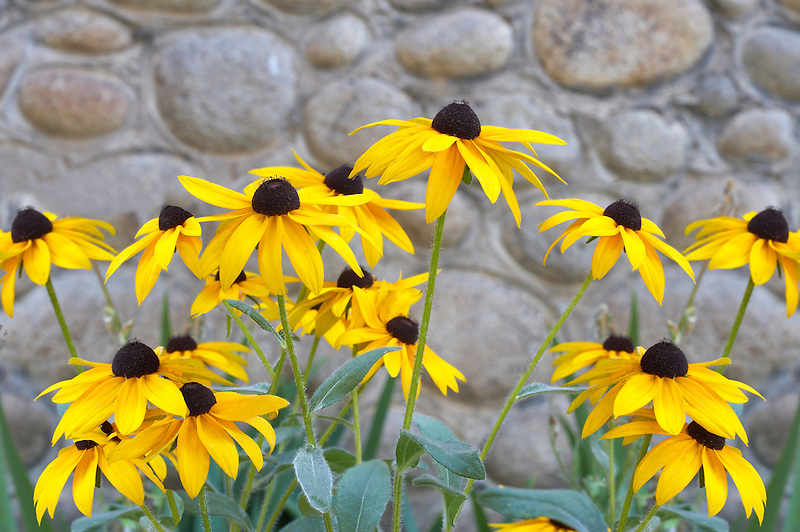 Black eyed susan flowers against roack wall. Halfway. Oregon