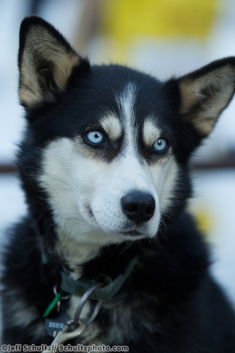 Cleavage, a Billy Snodgrass dog at the ceremonial start day of the 2011 Iditarod in Anchorage, Alaska