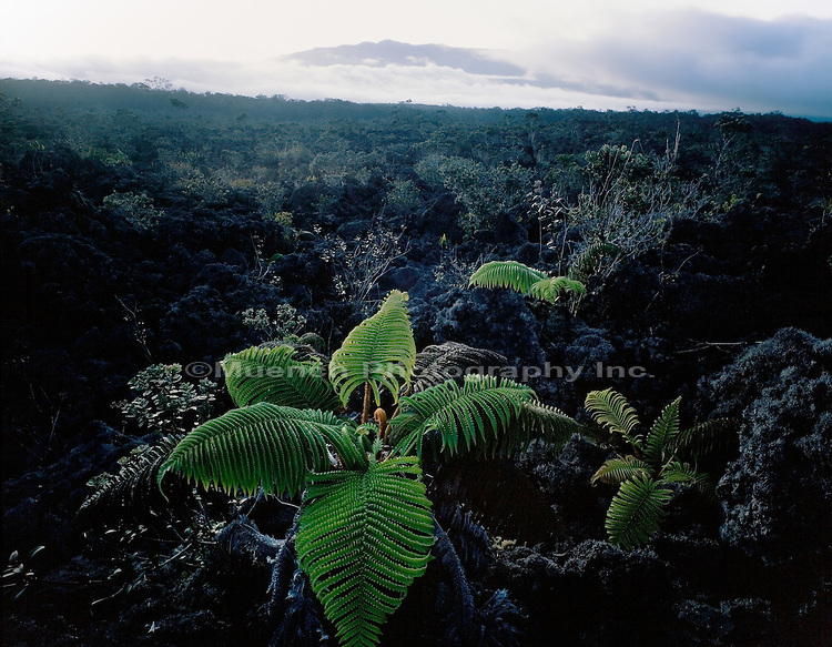 """Amaumau ferns, Saddle Road area, Mauna Kea, Hawaii   HAWAII"""
