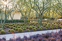 Echinocactus grusonii, Golden Barrel Cactus under Palo Brea trees; Sunnylands garden