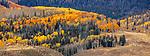 Aspen Trees ( Populus tremuloides), Aspen, Colorado
