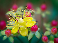 Close up of Hypericum - Mystical Red Star.