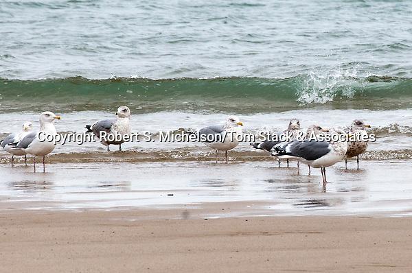 American Herring gulls in winter plumage, South Beach, Chatham., Massachusetts