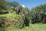 Cacti and acacia trees growing on one of the mounds at the ruins of the Zapotec city of Zaachila in the Central Valley of Oaxaca, Mexico.
