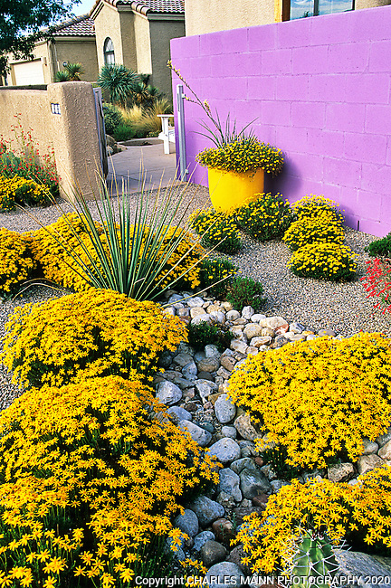 Albuquerque landscape architect David Cristiani created a striking xeriscape garden  compostion by planting some tough yellow flowered dimianita (Chrysactinia mexicana) plants in a gravel mulch and  pairing them with a lilac purple wall at his urban residencal home.