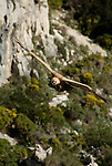 Griffon Vulture soaring along rock face