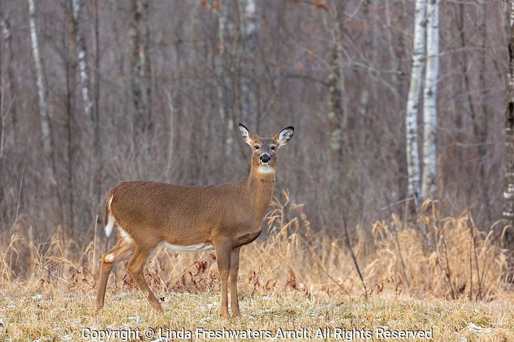 A large white-tailed doe in a northern Wisconsin field.