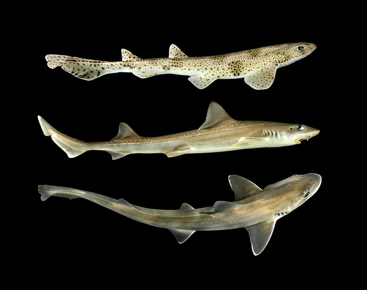 Lesser Spotted Catshark - Scyliorhinus canicula (top fish)<br /> Starry Smooth Hound - Mustelus asterias (middle fish)<br /> Smooth Hound - Mustelus mustelus (bottom fish)