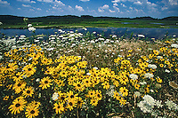 Black-eyed Susans, blooming wildflowers, Mannington Meadows, New Jersey