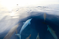 Albino Spinner Dolphin, Stenella longirostris, Chichi-jima, Bonin Islands, Ogasawara Islands, Natural World Heritage Site, Tokyo, Japan, Pacific Ocean