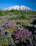 Mount St Helens National Monument, WA<br /> Dwarf lupine and Cardwell's penstemon in the alpine meadows of Lahar with with distant snow capped Mount St Helens