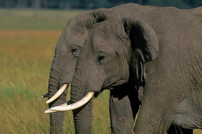 KENYA, MASAI MARA, GRASSLAND, ELEPHANT BULLS (MALES)
