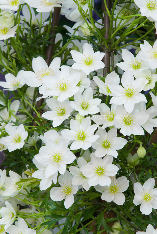 Clematis x cartmanii hort. 'Joe' (Fo/m)