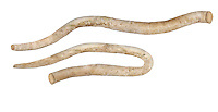 Norway Shipworm tubes - Nototeredoa norvegica