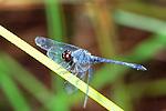 Dragonlet-Erythrodiplax berenice