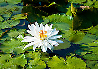 Lotus flower in Memphis Botanical Garden