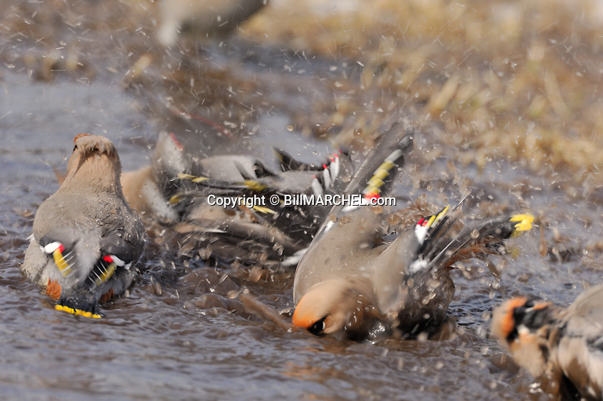 00110-011.10 Bohemian Waxwing (DIGITAL) Waxwings are bathing in puddle of water.  Bird, birding, mask, action.  H3E1