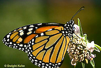 MO01-041z  Monarch Butterfly - adult on milkweed - Danaus plexippus