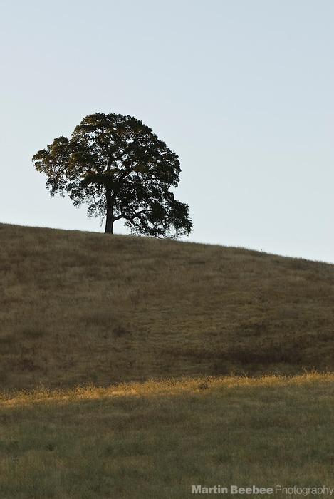 A lone blue oak (Quercus douglasii) on top of a hill in the Sierra Nevada foothills, California
