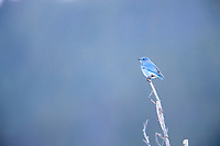 Mountain Bluebird (Sialia currucoides), immature male foraging in Rocky Mountain National Park, Colorado.