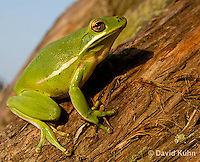 1218-1018  American Green Treefrog Climbing Tree, Hyla cinerea  © David Kuhn/Dwight Kuhn Photography