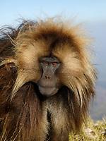 Portrait of a male Gelada monkey