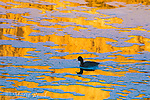 American Coot (Fulica americana) swimming amid pattern of reflections and foam on water, Henderson, Nevada.