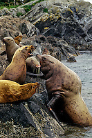 Steller's sea lions or Northern Sea Lions (Eumetopias jubata) bull hauling out on rocks meeting some resistance.  Pacific Northwest.