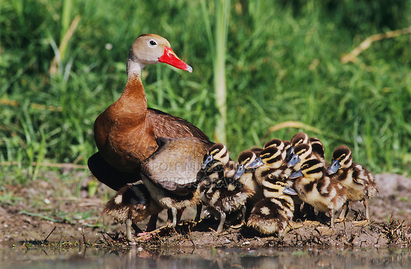Black-bellied Whistling-Duck, Dendrocygna autumnalis,female with young, Lake Corpus Christi, Texas, USA, June 2003