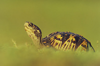 Eastern Box Turtle (Terrapene carolina carolina), adult, Raleigh, Wake County, North Carolina, USA
