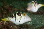 Black-saddled Toby (Canthigaster valentini) pufferfish.