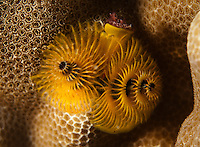 A underwater macro view of a yellow Christmas tree worm in coral along the Waianae coast of O'ahu.