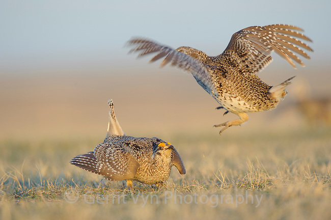 Adult male Sharp-tailed Grouse(Tympanuchus phasianellus) fighting on a lek. Ft. Pierre National Grassland, South Dakota. April.