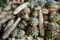 An assrotment of agaves waiting to be cooked and then fermented and distelled in clay pots for mezcal. Mezcal Macurichu, the only distillery in Matatlan that still distills in clay pots (destilado de barro), belonging to Gonzalo Martinez Sernas a master mezcalero, Santiago Matatlan,  Oaxaca