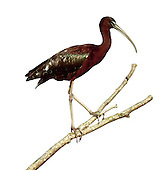 Glossy Ibis - Plegadis falcinellus - 1st winter. L 55-65cm. Wetland bird with heron-like proportions and Curlew-like bill. Maroon and metallic plumage is only obvious in good light. Breeds in S Europe and winters mainly in Africa. Occasional visitors here are often long-stayers.