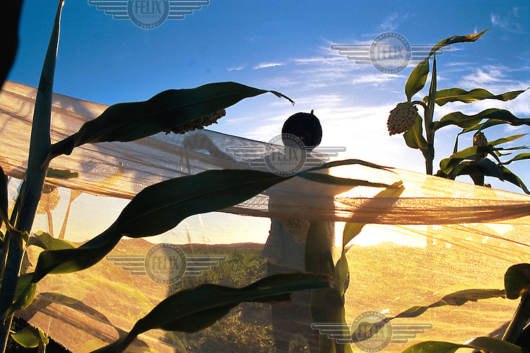 """© Ami Vitale / Panos Pictures..Even in the pre-dawn light, cries of the farmers in the village of Bounessa in the Affole region of Mauritania ring across the valley, challenging the birds that want a share of the ripening sorghum. Bounessa is a village of only 61 families, all of one sub-clan and tribe, the Swaqer of the Hel Sidi Mahmoud. The families were once nomadic,  but since they built a dam in 1960, they are settled now. """"We were tired going from one place to another. Before the dam (was built) we cultivated where we could. With the dam and the cereals we have a new life. We can buy goats and sheep. Now I have stayed in a permanent house for seven years. """""""