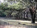 Turkeys in oak woodland at Harbin Hot Springs