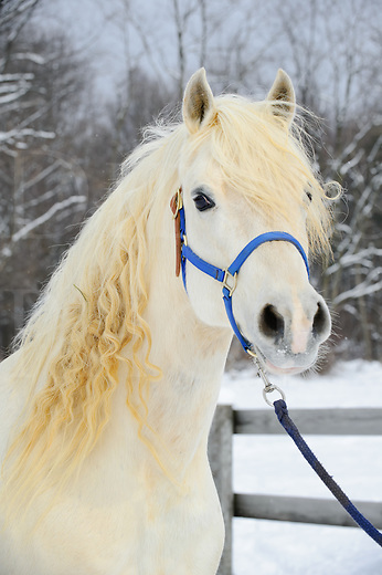 White horse head shot mane hair in long curls, winter in Pennsylvania, PA, USA